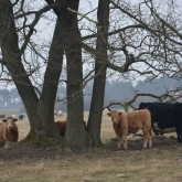 I biked right through a cow pen in Skåne with like, hundreds of curious cows :3